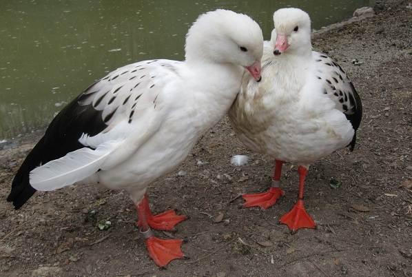 Водоплавающие-птицы-Описание-названия-и-особенности-водоплавающих-птиц-2