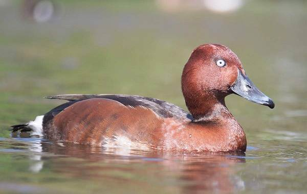 Водоплавающие-птицы-Описание-названия-и-особенности-водоплавающих-птиц-22