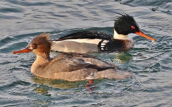 Водоплавающие-птицы-Описание-названия-и-особенности-водоплавающих-птиц-23