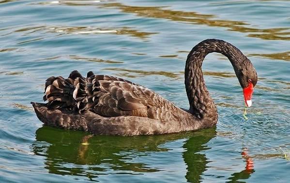 Водоплавающие-птицы-Описание-названия-и-особенности-водоплавающих-птиц-24