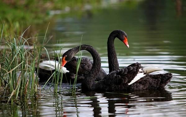 Водоплавающие-птицы-Описание-названия-и-особенности-водоплавающих-птиц-25