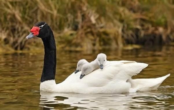 Водоплавающие-птицы-Описание-названия-и-особенности-водоплавающих-птиц-26