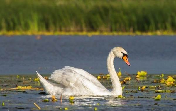 Водоплавающие-птицы-Описание-названия-и-особенности-водоплавающих-птиц-27