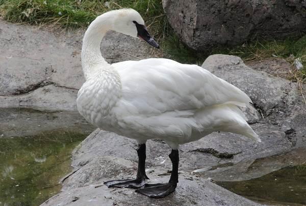Водоплавающие-птицы-Описание-названия-и-особенности-водоплавающих-птиц-28