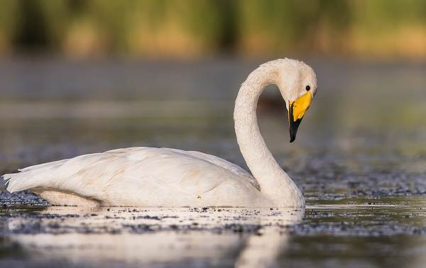 Водоплавающие-птицы-Описание-названия-и-особенности-водоплавающих-птиц-29