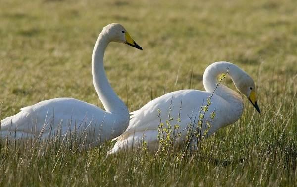 Водоплавающие-птицы-Описание-названия-и-особенности-водоплавающих-птиц-30