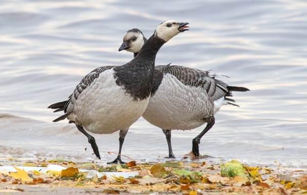 Водоплавающие-птицы-Описание-названия-и-особенности-водоплавающих-птиц-34