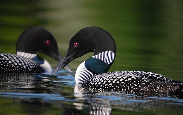 Водоплавающие-птицы-Описание-названия-и-особенности-водоплавающих-птиц-37