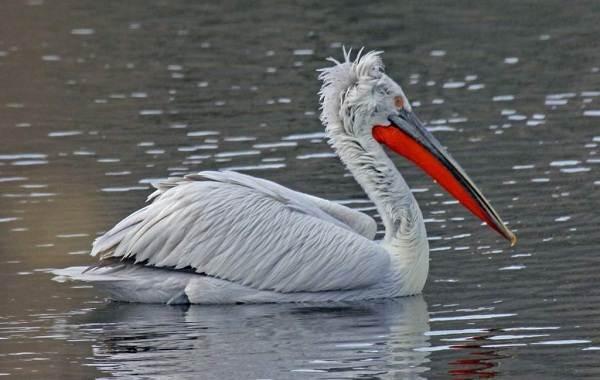 Водоплавающие-птицы-Описание-названия-и-особенности-водоплавающих-птиц-39