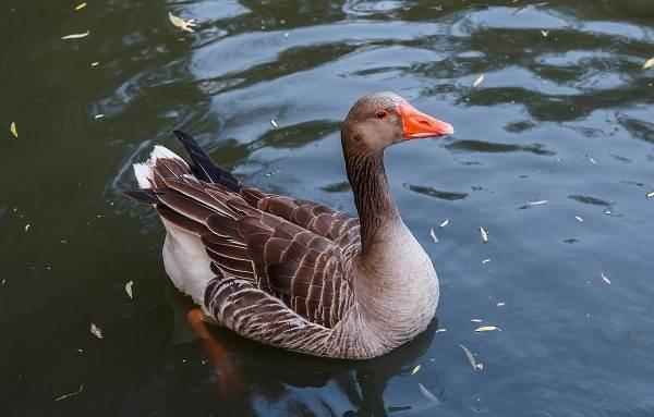 Водоплавающие-птицы-Описание-названия-и-особенности-водоплавающих-птиц-4