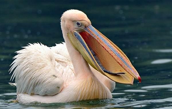 Водоплавающие-птицы-Описание-названия-и-особенности-водоплавающих-птиц-40