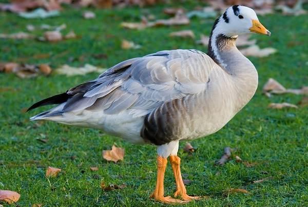 Водоплавающие-птицы-Описание-названия-и-особенности-водоплавающих-птиц-5