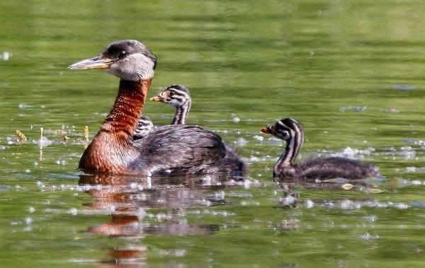 Водоплавающие-птицы-Описание-названия-и-особенности-водоплавающих-птиц-57