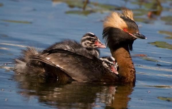 Водоплавающие-птицы-Описание-названия-и-особенности-водоплавающих-птиц-58
