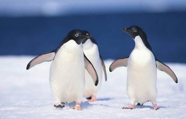 Водоплавающие-птицы-Описание-названия-и-особенности-водоплавающих-птиц-68