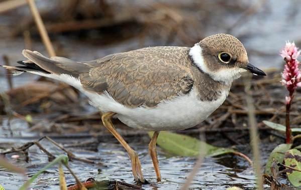 Водоплавающие-птицы-Описание-названия-и-особенности-водоплавающих-птиц-73