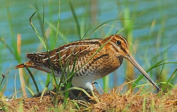 Водоплавающие-птицы-Описание-названия-и-особенности-водоплавающих-птиц-74