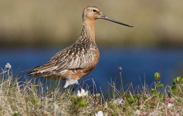 Водоплавающие-птицы-Описание-названия-и-особенности-водоплавающих-птиц-77