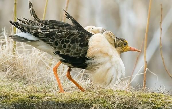 Водоплавающие-птицы-Описание-названия-и-особенности-водоплавающих-птиц-79