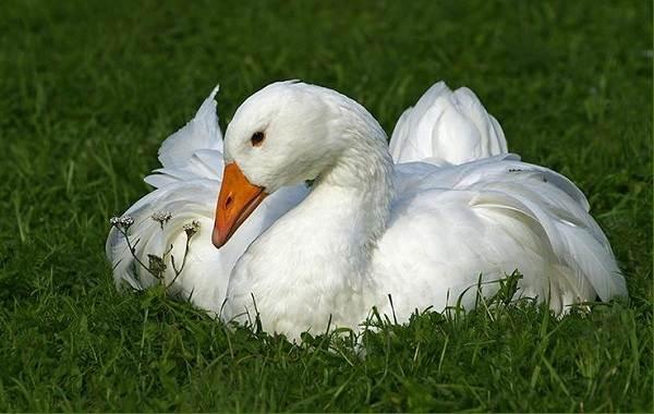 Водоплавающие-птицы-Описание-названия-и-особенности-водоплавающих-птиц-8
