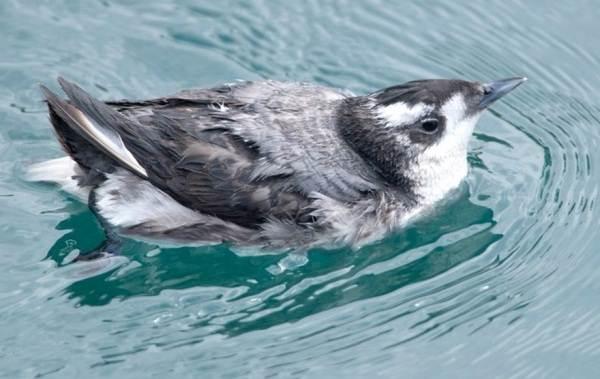 Водоплавающие-птицы-Описание-названия-и-особенности-водоплавающих-птиц-82