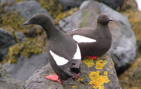 Водоплавающие-птицы-Описание-названия-и-особенности-водоплавающих-птиц-85