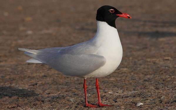 Водоплавающие-птицы-Описание-названия-и-особенности-водоплавающих-птиц-89