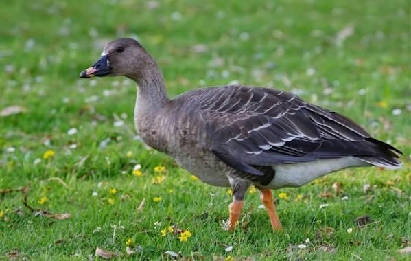 Водоплавающие-птицы-Описание-названия-и-особенности-водоплавающих-птиц-9