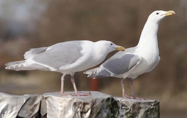 Водоплавающие-птицы-Описание-названия-и-особенности-водоплавающих-птиц-91