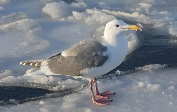 Водоплавающие-птицы-Описание-названия-и-особенности-водоплавающих-птиц-92