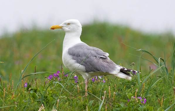 Водоплавающие-птицы-Описание-названия-и-особенности-водоплавающих-птиц-94
