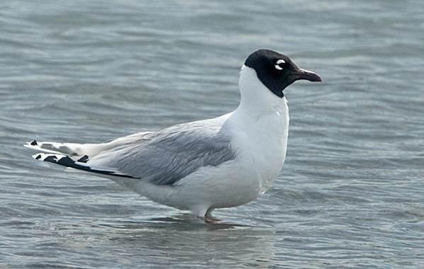 Водоплавающие-птицы-Описание-названия-и-особенности-водоплавающих-птиц-96
