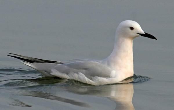 Водоплавающие-птицы-Описание-названия-и-особенности-водоплавающих-птиц-97