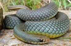 Желтобрюх змея. Образ жизни и среда обитания желтобрюха