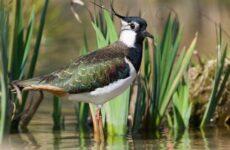 Чибис птица. Образ жизни и среда обитания чибиса