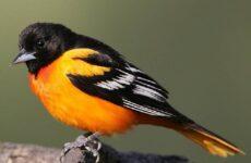 Горихвостка птица. Описание, особенности, виды, образ жизни и среда обитания горихвостки