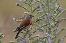 Коноплянка птица. Образ жизни и среда обитания коноплянки