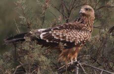 Коршун птица. Образ жизни и среда обитания коршуна