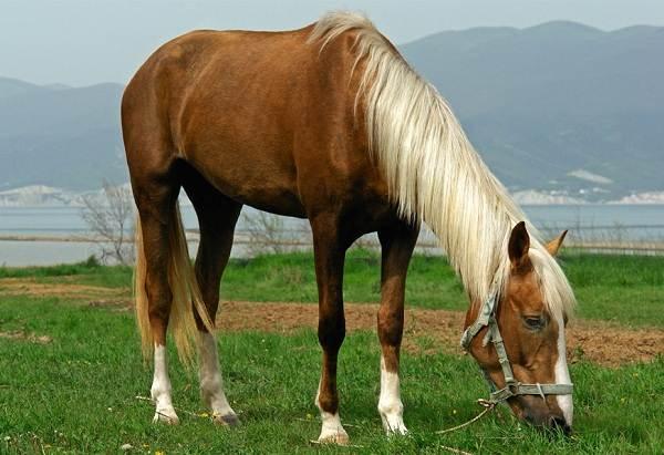 Масти-лошадей-Описание-особенности-и-названия-мастей-лошадей-14