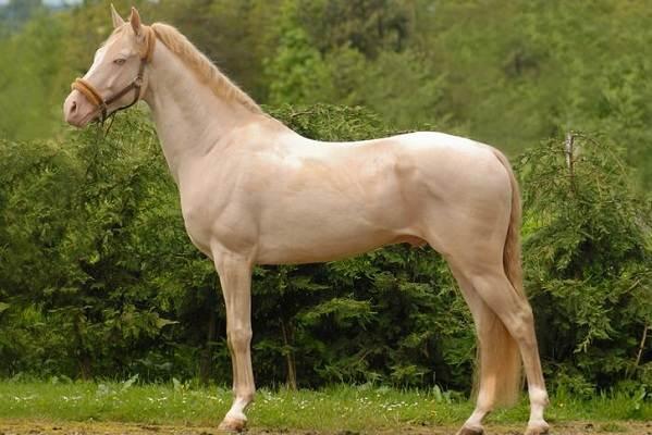 Масти-лошадей-Описание-особенности-и-названия-мастей-лошадей-16