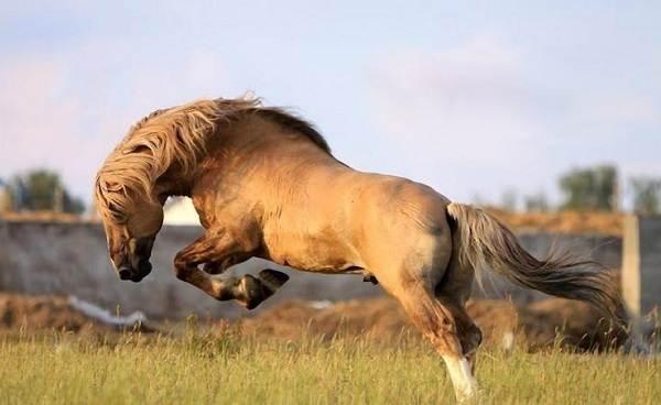 Масти-лошадей-Описание-особенности-и-названия-мастей-лошадей-29