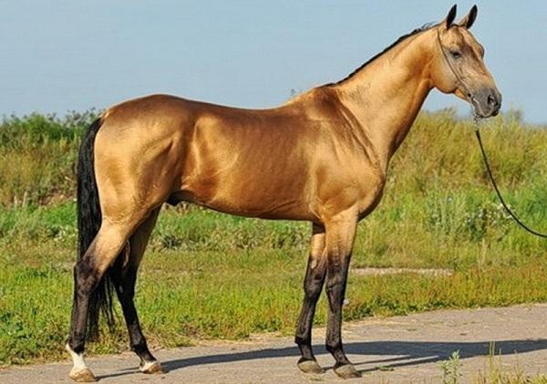 Масти-лошадей-Описание-особенности-и-названия-мастей-лошадей-30