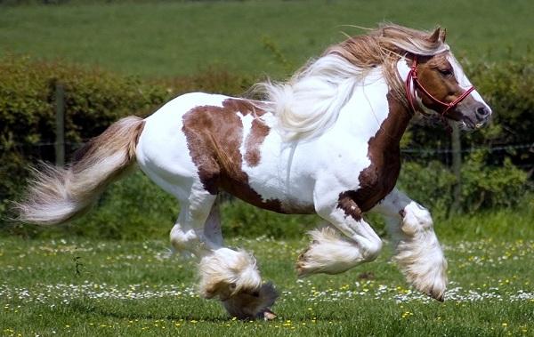 Масти-лошадей-Описание-особенности-и-названия-мастей-лошадей-34