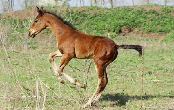 Масти-лошадей-Описание-особенности-и-названия-мастей-лошадей-37