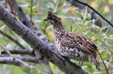 Рябчик птица. Среда обитания и особенности рябчика