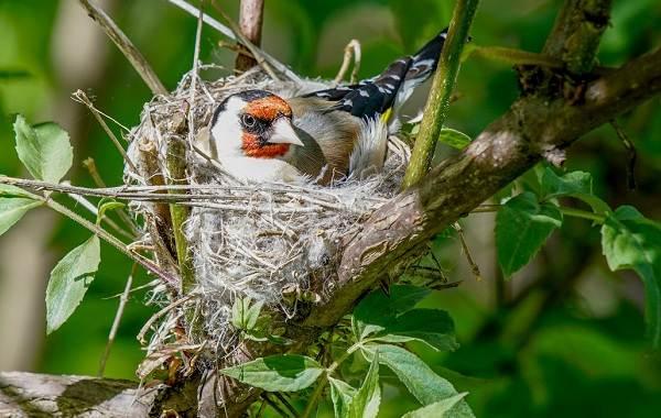 Щегол-птица-Описание-особенности-образ-жизни-и-среда-обитания-щегла-15