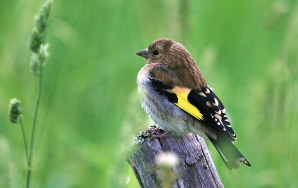 Щегол-птица-Описание-особенности-образ-жизни-и-среда-обитания-щегла-16