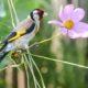 Щегол птица. Описание, особенности, образ жизни и среда обитания щегла