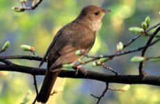 Соловей птица. Образ жизни и среда обитания соловья