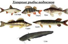 Хищные рыбы. Названия, описания и особенности хищных рыб